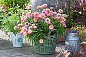 Bracteantha Sunbrella 'Pink' ( Strohblume ) im grünen Korb