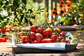 Frisch gepflückte Lycopersicon ( Tomaten ) auf Holz-Tablett