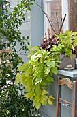 Holzkasten mit Blattschmuckpflanzen vorm Fenster