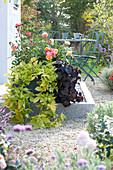 Kasten  mit Rosa 'Firebird' ( Beetrosen ) und Ipomoea batatas Sweet