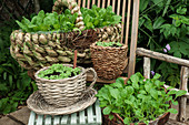 A variety of wicker baskets used for pak choi and radish plants on wooden chairs outside in a summer garden