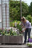 Frau bepflanzt Holzkasten mit Kletterpflanzen als Sichtschutz