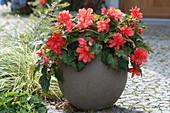 Begonia Iconia 'Miss Malibu' ( Begonie ) im grauen Kübel