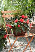 Begonia Iconia 'Miss Malibu' (Begonie) und Carex (Segge) im Korb