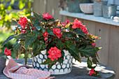 Begonia Iconia 'Miss Malibu' ( Begonie )