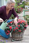 Frau gießt Begonia Iconia 'First Kiss' (Begonie)