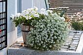 Weißblühende Sommerblumen als Kombination
