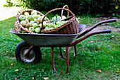 Frisch geerntete Äpfel in Körben und Schubkarre im Garten