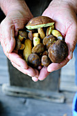 Hands holding fresh bay boletes
