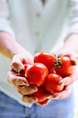 Hände halten Tomaten