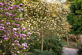 Magnolia soulangeana und Magnolia acuminata 'Yellow Lantern' (Magnolien)
