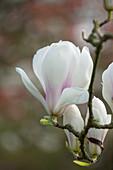Magnolia soulangeana 'Brozzonii' (Tulpenmagnolie, Magnolie)
