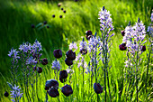 Prärielilie und schwarze Tulpen