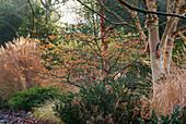 Blühende Zaubernuss und Gräser im winterlichen Garten