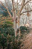 Stamm der Papier-Birke im Winter