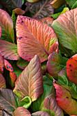 Blätter der Bergenie in Winterfärbung