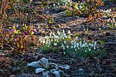 Schneeglöckchen und Lenzrose im Vorfrühling