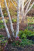 Birken mit Lenzrosen im Vorfrühling