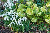 Schneeglöckchen und verblühte Christrose mit gefüllten Blüten