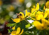 Eranthis hyemalis (Winterling) mit Biene