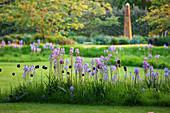 Frühlingsbeet mit blauen Präirielilien und schwarzen Tulpen