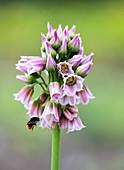 Nectaroscordum tripedale (Bulgarischer Schmucklauch) Blütenmakro mit Hummel