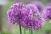 Allium 'Early Emperor' (Zierlauch)