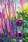 Salvia nemorosa (Steppensalbei) und Rosa 'Burgundy Ice' (Strauchrose)
