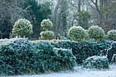 Japanische Stechpalme (Ilex crenata) als Hecke und Topiary im winterlichen Garten