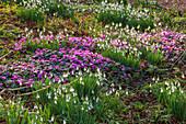 Schneeglöckchen (Galanthus) und Frühlings-Alpenveilchen (Cyclamen coum) im Garten