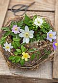 Frühlings Anemonen Tableau im Vogelnest - 'Tilo', 'Lismore Blue', 'Blue Beauty', 'Grandiflora' (Anemone nemorosa) 'Vindobonensis' (Anemone lipsiensis)