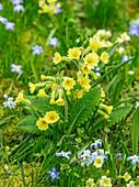 Schlüsselblumen, Himmelschlüssel (Primula veris) in Frühlings-Wiese