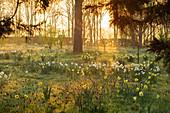 Narzissen (Narcissus) und Schachblumen, Schachbrettblumen (Fritillaria meleagris) bei Sonnenaufgang im Park