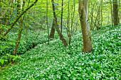Blühende Bärlauch-Wiese (Allium ursinum) im Wald