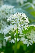 Blüte von Bärlauch (Allium ursinum)