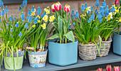 Traubenhyazinthen (Muscari), Narzissen (Narcissus) und Tulpe 'Ophelia' (Tulipa) in Reihe