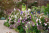 Sommer-Beet mit Rosen (Rosa), Fingerhut (Digitalis), Vexiernelke (Lychnis coronaria) und Rittersporn (Delphinium)