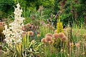 Samenstände von Zierlauch 'Globemaster' (Allium) und blühende Palmlilie (Yucca filamentosa)