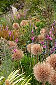 Samenstände von Zierlauch 'Globemaster' (Allium) im Stauden-Beet