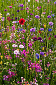 Blumen-Wiese mit Sommerblumen