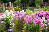 Duft-Beet mit verschiedenen Sorten Flammenblumen (Phlox paniculata)