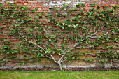 Echte Feige (Ficus carica) als Spalier an Wand gezogen