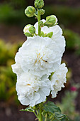 weiße Stockrose 'Chaters Double White' (Alcea rosea)