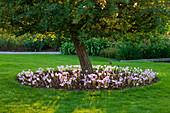 Baumscheibe mit Herbstzeitlose (Colchicum)