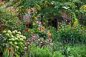 Country-Garten mit Hortensie 'Annabelle', 'Hot Chocolate' und Dahlien 'Amaran Relish', 'Chimborazo'