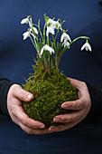 Kokedama, Hände halten Schneeglöckchen (Galanthus) in Moos-Kugel