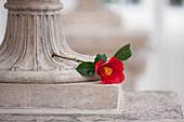 Einzelne Blüte von Kamelie 'Aitonia' (Camellia japonica) als Deko