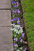 Schneeglöckchen (Galanthus nivalis) und Elfen-Krokus (Crocus tommasinianus) als Weg-Begleiter