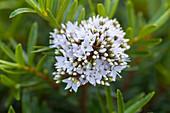 weiße Blüten von Strauchveronika 'Celina' (Hebe diosmifolia)
