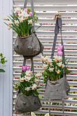 Bepflanzte Umhängetaschen mit Narzisse 'Salome' (Narcissus) und Tulpen (Tulipa)